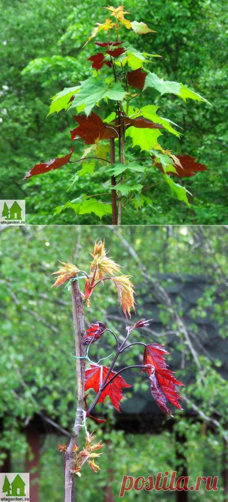 Размножение клена | Дачная жизнь - сад, огород, дача.  Два цвета в одной кроне...