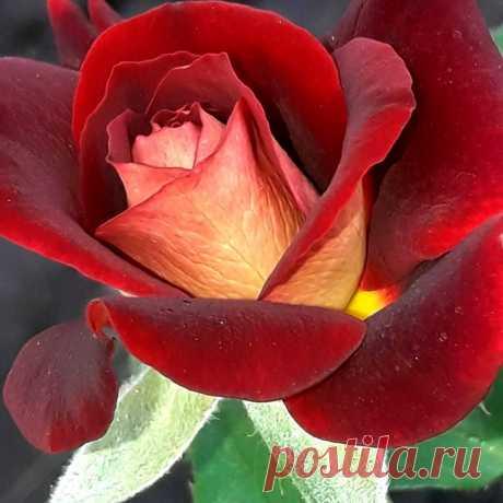 Бутон роскошной розы сорта Эдди Митчел!