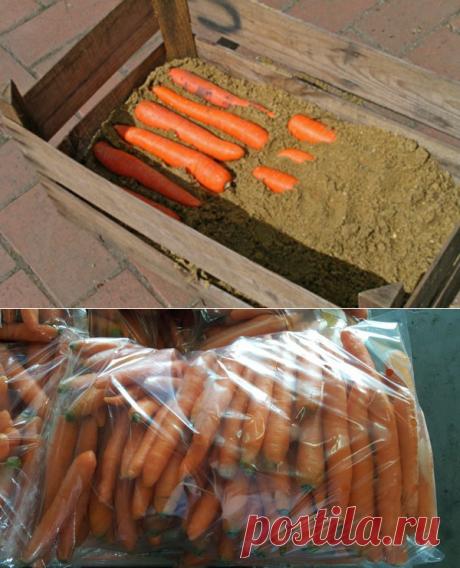 Как сохранить морковь до весны здоровой и сочной!? | Любимая Дача | Яндекс Дзен Одним не менее значимым этапом в жизни моркови — это ее хранение, на длительный срок. «Золотое правило» сохранности плода – своевременная и правильная уборка. Необходимо тщательно просмотреть все плоды, удалив гнилые или пораженные чем - либо еще, поскольку все может быстро распространится на остальные овощи. Напомню, урожай необходимо собирать в сухой день.