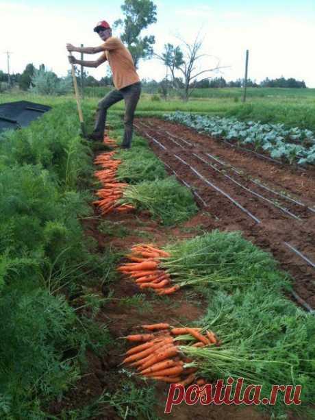 Conocemos, cuando excavan la zanahoria
