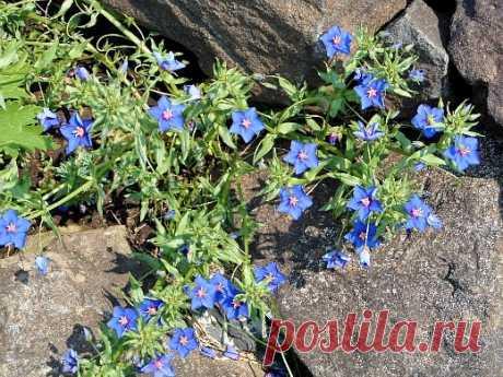 Цветок анагаллис и его выращивание :: sotkiradosti.ru