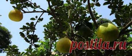 Грейпфрут: польза и вред для здоровья женщин, мужчин и детей. Состав, применение при сахарном диабете, беременности, как правильно есть и чистить.