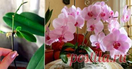 Узнайте главный секрет разведения орхидей! Можно сделать хоть сотню цветущих красавиц из одной — Копилочка полезных советов
