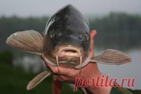 Рецепт прикормки для ловли карпа | Все о ловле рыбы - Рыбалке.нет