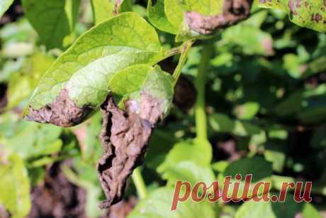 Почернела ботва картофеля: кто виноват и что делать