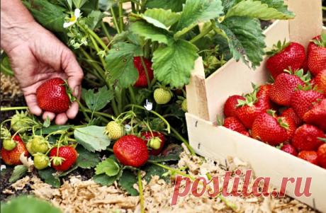4 лучших удобрения для земляники садовой или клубники, как по старинке  называют эту ягоду некоторые дачники.  1. Куриный помет хорош тем, что содержит высокий процент азота, без  которого ягода не способна произвести крупных, сочных и сладких плодов.  Используется куриный помёт в качестве подкормки в жидком виде.  Стандартный расчёт 1 литр птичьего помёта на 10 литров воды, чтобы не  сжечь растение приготовленный раствор должен простоять около трёх дней.  2. Кисломолочные...