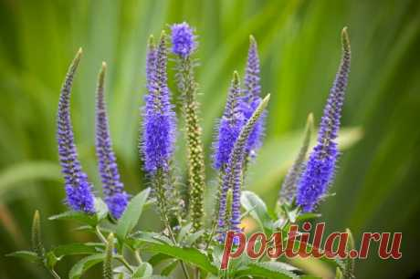 Вероника: цветок или сорняк | Почва и плодородие (Огород.ru)