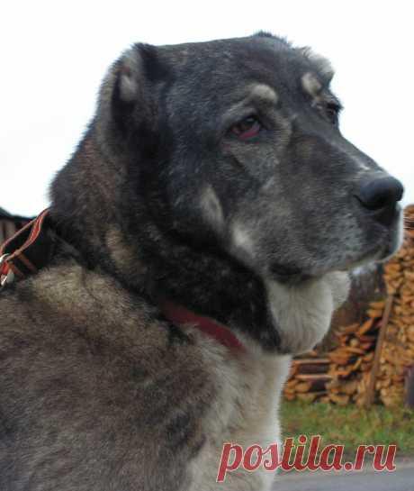 Сао Анта моя первая собака