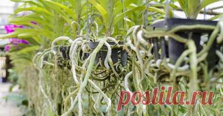 Воздушные корни у орхидеи – что делать? . Милая Я