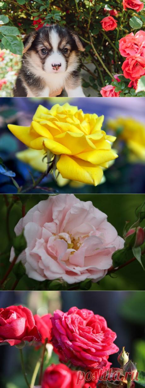 Розы для Подмосковья и средней полосы: самые красивые ранние сорта Теплолюбивая «королева сада» не приспособлена для выращивания в условиях сурового климата. Однако... Читай дальше на сайте. Жми подробнее ➡
