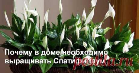 Почему в доме необходимо выращивать Спатифиллум