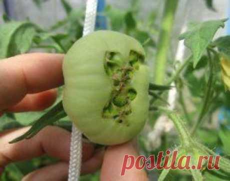 Las enfermedades y los saboteadores de los tomates en el invernadero: ¿cómo discernir y luchar? | en gryadke (Огород.ru)