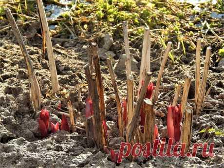 Пять основных правил ухода за пионами ранней весной. | Цветочная душа | Яндекс Дзен