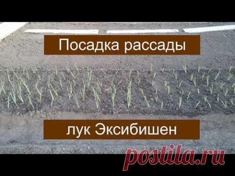 ПОСАДКА ЛУКА ЭКСИБИШЕН. ОБЗОР ОГОРОДА. 05.05.2017