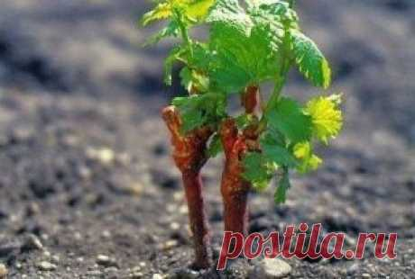 отличный способ вырастить черенки винограда