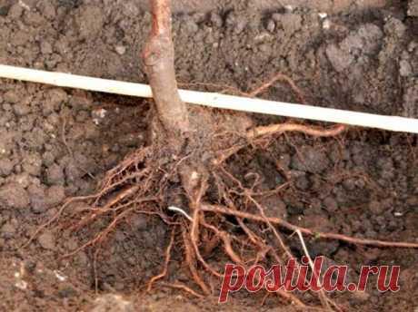 Как навсегда избавиться от корней в огороде не спиливая деревья | О Фазенде. Загородная жизнь | Яндекс Дзен