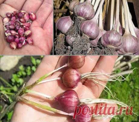 Правила выращивания чеснока в открытом грунте: особенности посадки ...