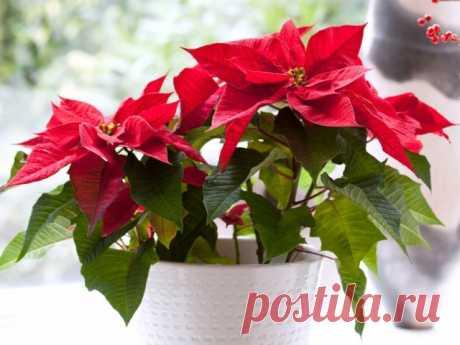 7 лучших зимнецветущих комнатных растений. Список цветущих зимой комтаных цветов. Названия, фото - Ботаничка.ru