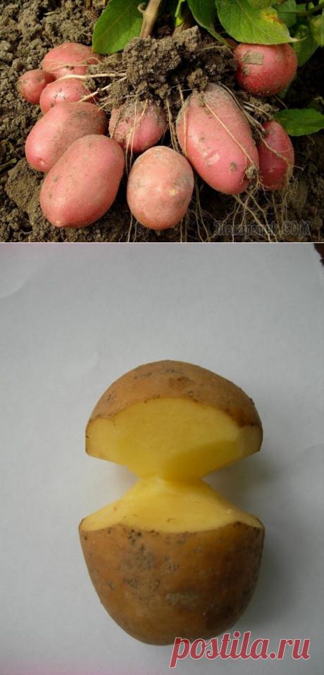 Los experimentos fértiles: sentamos las patatas por el método chino