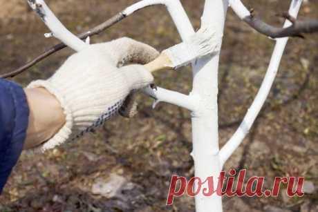 Мероприятия по защите яблони и груши   Уход за садом (Огород.ru)