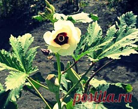 Бамия - что это такое, как выращивать, посадка и уход, фото и видео   Россельхоз.рф