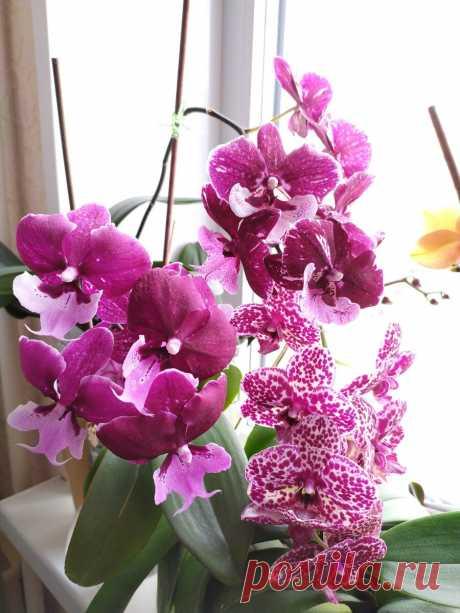 Орхидея фаленопсис не цветёт. Что делать?