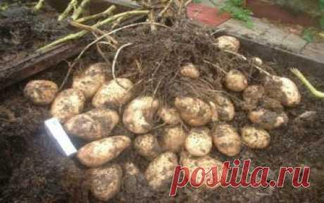 Las patatas: la tonelada de los tubérculos con una teje. La tecnología de autor del veraneante de sibiri