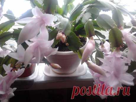 Декабрист цветёт обычно зимой!
