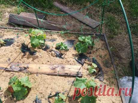 Хотите много огурцов? Выращивайте зеленцы на сетке и собирайте без проблем Огурцы – одна из самых популярных дачных культур. Эти полюбившиеся овощи несложно выращивать, если поддерживается правильная температура и влажность. Это вьющееся растение, поэтому довольно популярно вертикальное выращивание его на сетке или других опорах. У этого решения много преимуществ, и его