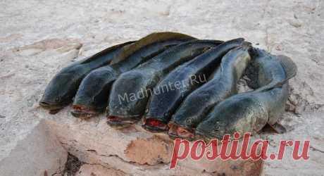 Рыба Змееголов, описание и характеристики, места обитания, нерест