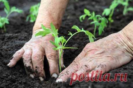 Сосед по даче поделился рецептом щедрого урожая: добавляю половину чайной ложки на ведро воды. Выращивание овощей на даче — дело трудоемкое. И тем обиднее, когда урожай не оправдывает затраченных на него усилий. С тревогой и надеждой смотрят дачники на грядки — хорошо ли цветут растения, много …