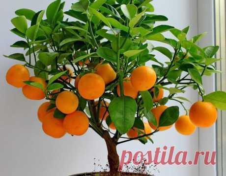 Как вырастить мандарин из косточки в домашних условиях. - полезные советы