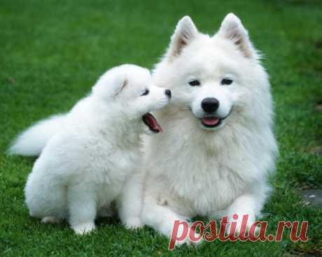 Большая, пушистая, белая? Все это самоедская собака.