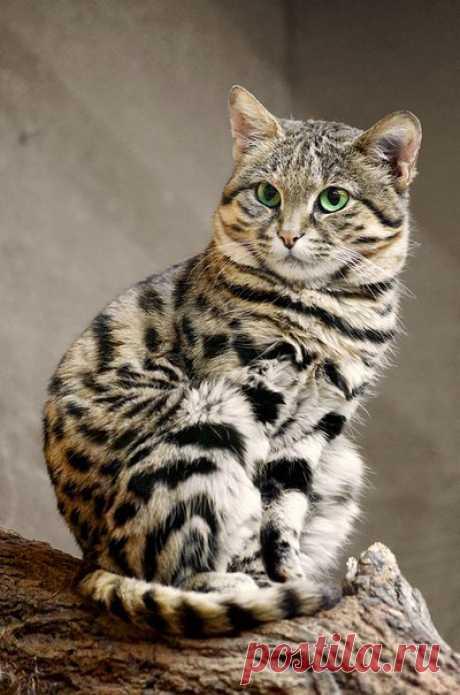 На юге Африки живет черноногая кошка — одна из самых маленьких диких кошек в мире. Впрочем, не судите по размерам: на деле эта милая красавица — кровожадный хищник с выдающимися охотничьими навыками, легко расправляющийся с животными в разы крупнее себя.