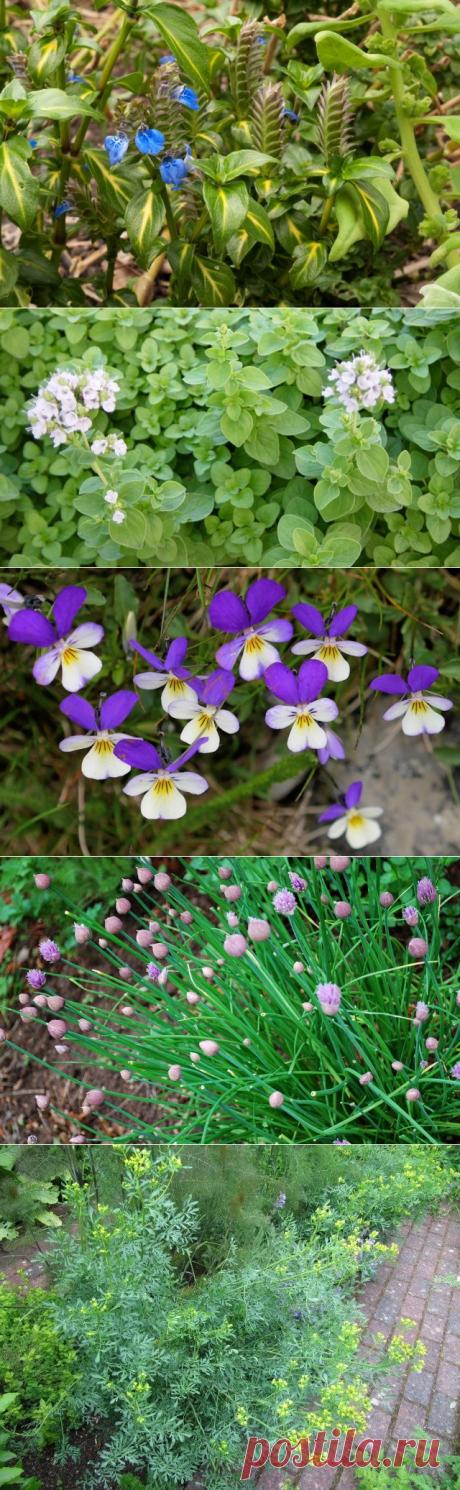 10 пряных растений, которые нужно выращивать, если любите готовить. Названия, описание, сорта, фото — Ботаничка.ru