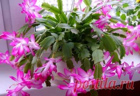 5 лучших подкормок декабриста для пышного цветения зимой — 6 соток
