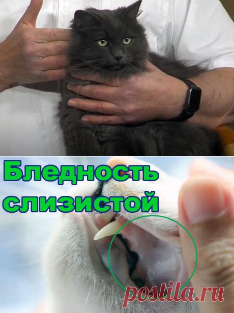 Анемия у кошек – симптомы и лечение - Про Питомца
