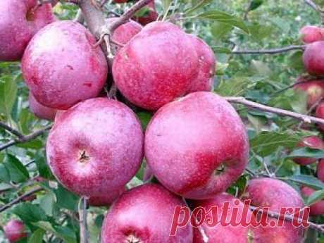 Саженцы яблони Флорина (карлик)