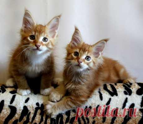 Котята мейн-кун. Мои тигры.