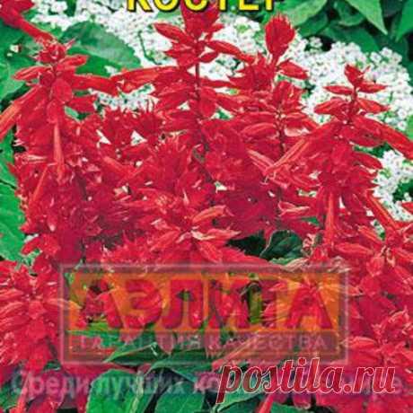 "Семена. Цветы. Сальвия ""Рио"" (20 штук) в г. Фрязино . Цена 22,00 руб. | Семена"