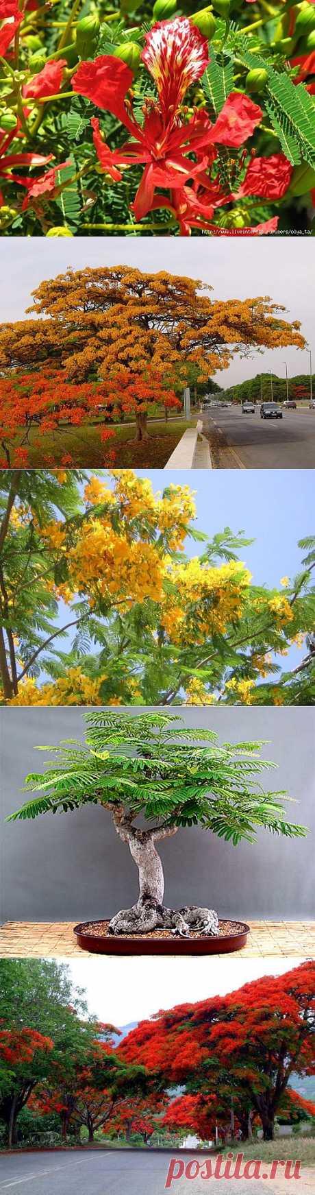 Делоникс королевский – одно из пяти самых красивых деревьев мира