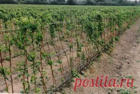 Где лучше на участке посадить малину: как растет садовая ягода с фото, выбор места на даче, куда сажать кусты - в тень или на солнце, какую почву любит куст?