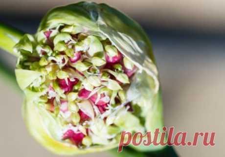 Выращивание чеснока из воздушных бульбочек | sotki.ru