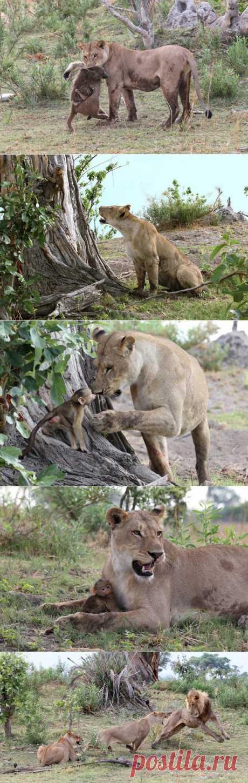 Львица убила бабуина, но то что произошло дальше повергло в шок фотографа.