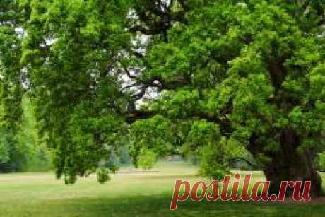 Сегодня 31 мая в народном календаре Федот Овсяник, Семь дев-ДУБ