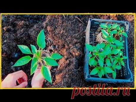 Хочешь быть с перцем делай так! / Как вырастить крепкую рассаду болгарского перца