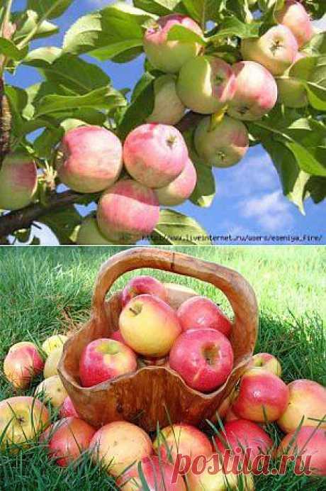 Какая огромная польза от яблок!
