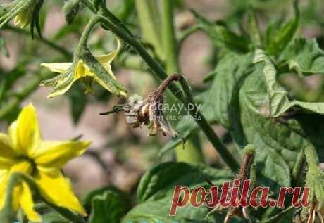 Усыхают и опадают завязи помидор что делать Как предотвратить опадание и усыхание завязи у томатов и помидор, как поливать и проветривать, какая должа быть температура и влажность в теплице