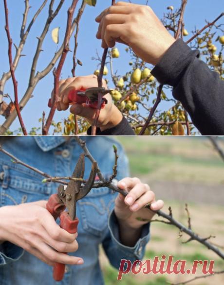 Обрезка груши осенью для новичков: наглядные схемы, понятные советы | Яблоня, груша (Огород.ru)