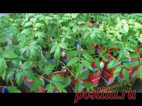 Шпаргалка №3  Пикировка томатов  Подкормка   нашатырь, перекись и зола